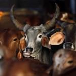 گائے کی نسل کے ذبیحہ پر بابندی غیر فطری